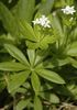 Galium odoratum (L.) Scop., 1771 / Asp�rule odorante : Photo 2/7