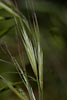 Bromus diandrus Roth, 1787 / Brome � deux �tamines : Photo 1/5