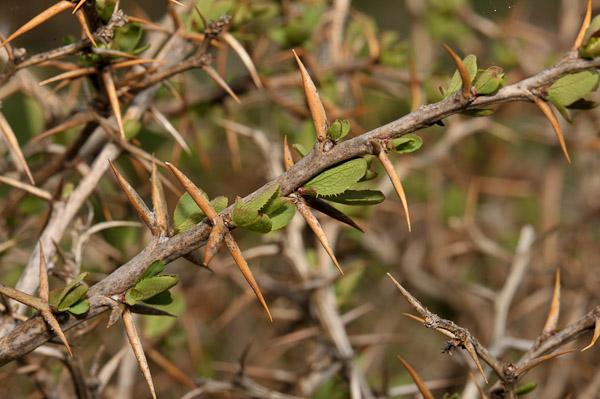 florealpes berberis aetnensis pine vinette de l 39 etna berberidaceae fiche d taill e. Black Bedroom Furniture Sets. Home Design Ideas