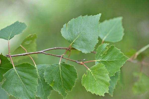 Florealpes comparaison de betula pendula et betula - Feuille de bouleau photo ...