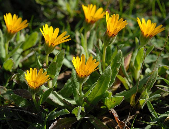 FLOREALPES : Calendula arvensis / Souci des champs / Asteraceae / Fiche détaillée Fleurs des ...