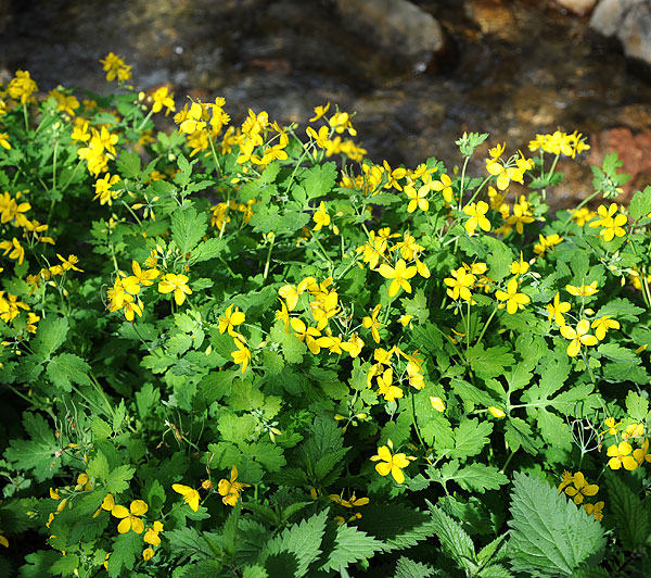 florealpes chelidonium majus ch lidoine papaveraceae fiche d taill e fleurs des hautes alpes. Black Bedroom Furniture Sets. Home Design Ideas