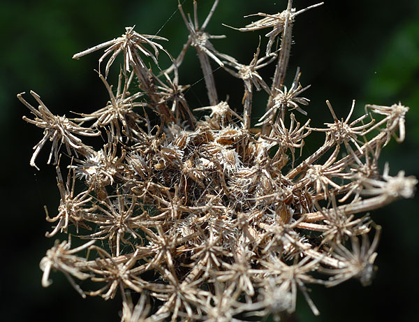 Florealpes daucus carota subsp gummifer carotte gomme apiaceae fiche d taill e fleurs - Plante a la gomme ...
