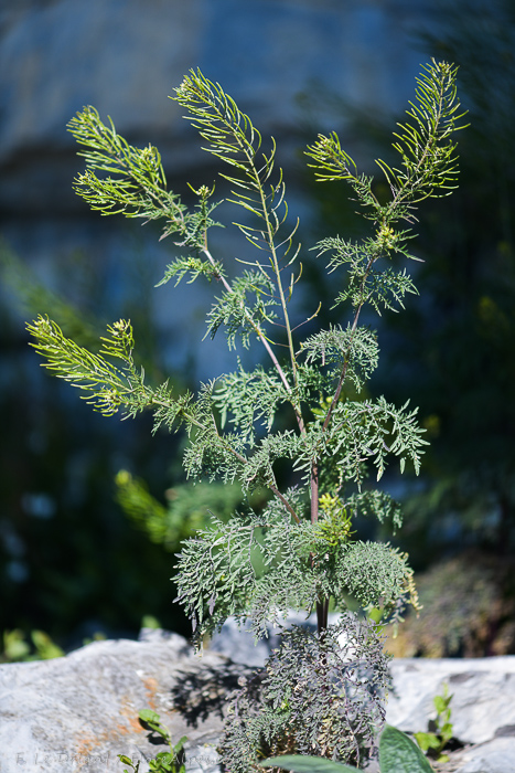 Descurainia sophia (Fl...