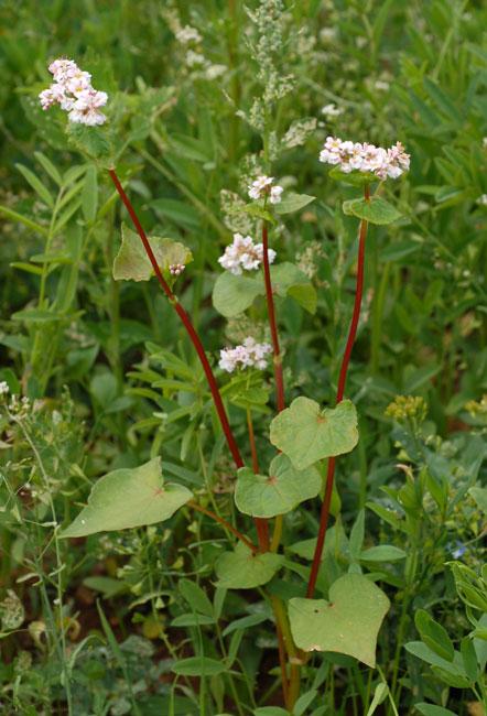 Les Plantes Photosensibilisantes. Fagopyrumesculentum_5