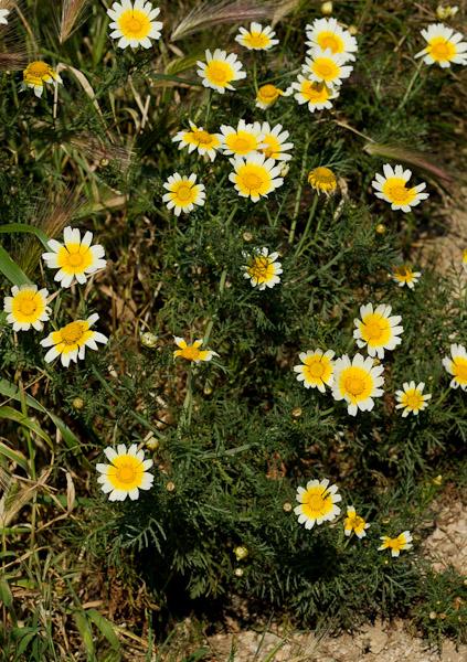 une plante de la famille des asteraceae!! Glebioniscoronaria_6