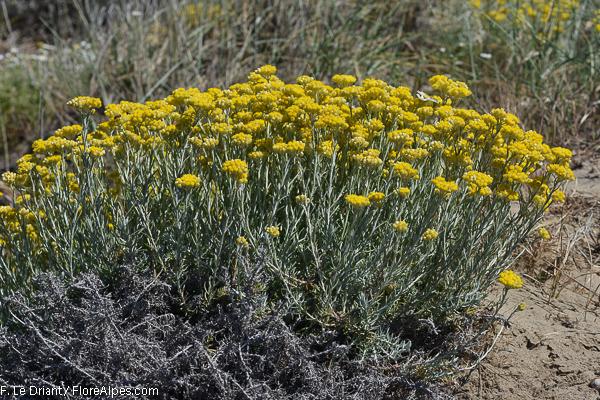 FLOREALPES : Helichrysum stoechas / Immortelle ...
