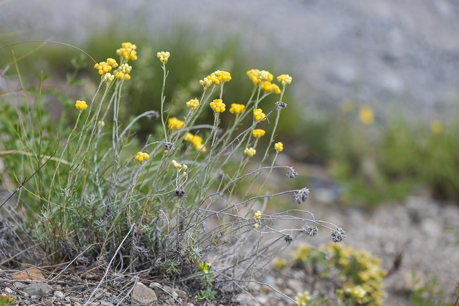 Florealpes comparaison de helichrysum italicum et for Plante immortelle