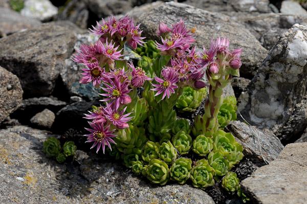 florealpes sempervivum montanum joubarbe des montagnes crassulaceae fiche d taill e. Black Bedroom Furniture Sets. Home Design Ideas