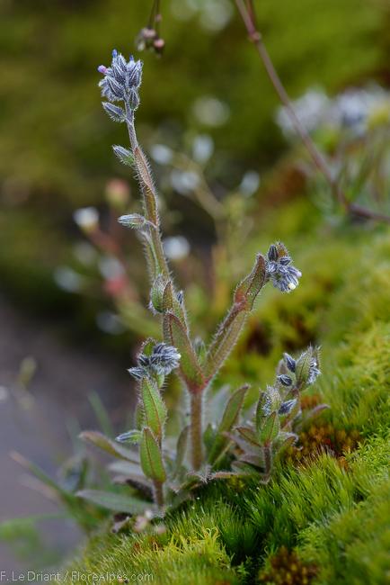 une fleur -ajonc - 13 janvier trouvée par Martin  Myosotisdicolor_4
