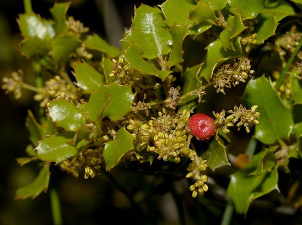 Florealpes Quercus Coccifera Chene Kermes Fagaceae Fiche