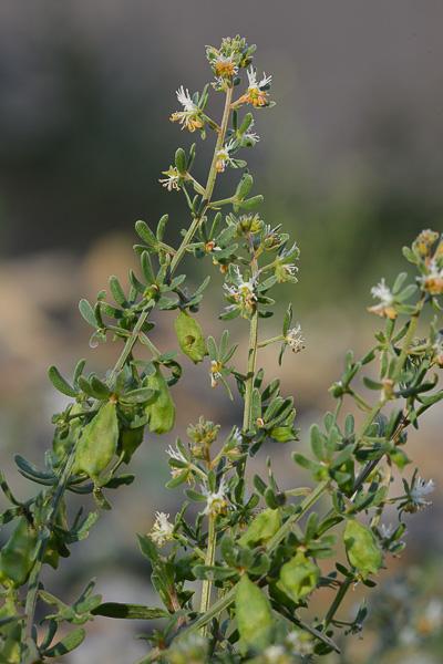 une fleur - blucat-  8 août trouvée par martine - Page 2 Resedaraiponce_1