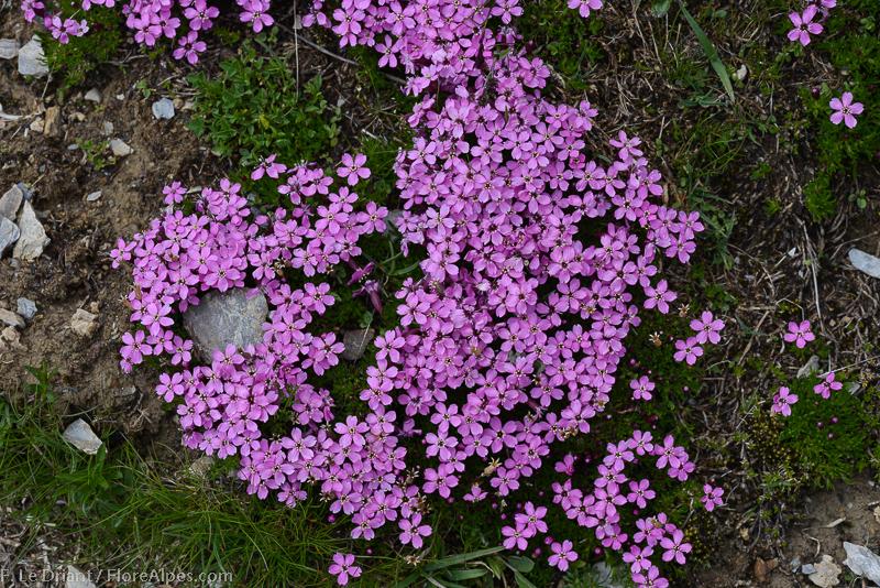 FLOREALPES : Silene acaulis / Silène acaule / Caryophyllaceae / Fiche détaillée Fleurs des ...