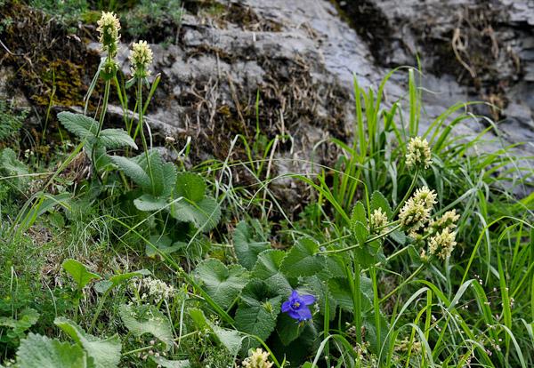 Florealpes betonica alopecuros piaire queue de renard lamiaceae fiche d taill e fleurs - Queue de renard fleur ...
