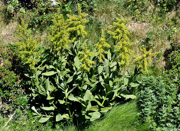 ces plantes qui font du bien. Veratre_9