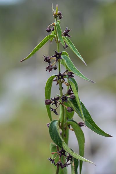 florealpes vincetoxicum nigrum dompte venin noir. Black Bedroom Furniture Sets. Home Design Ideas